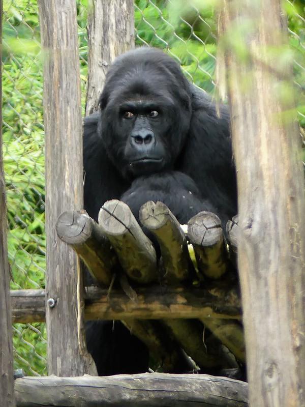 Ostafrikanischer Gorilla