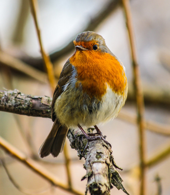 Little Robin Redbreast
