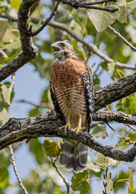 Red shouldered hawk ?