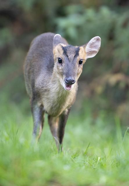 Reeves's Muntjac Deer