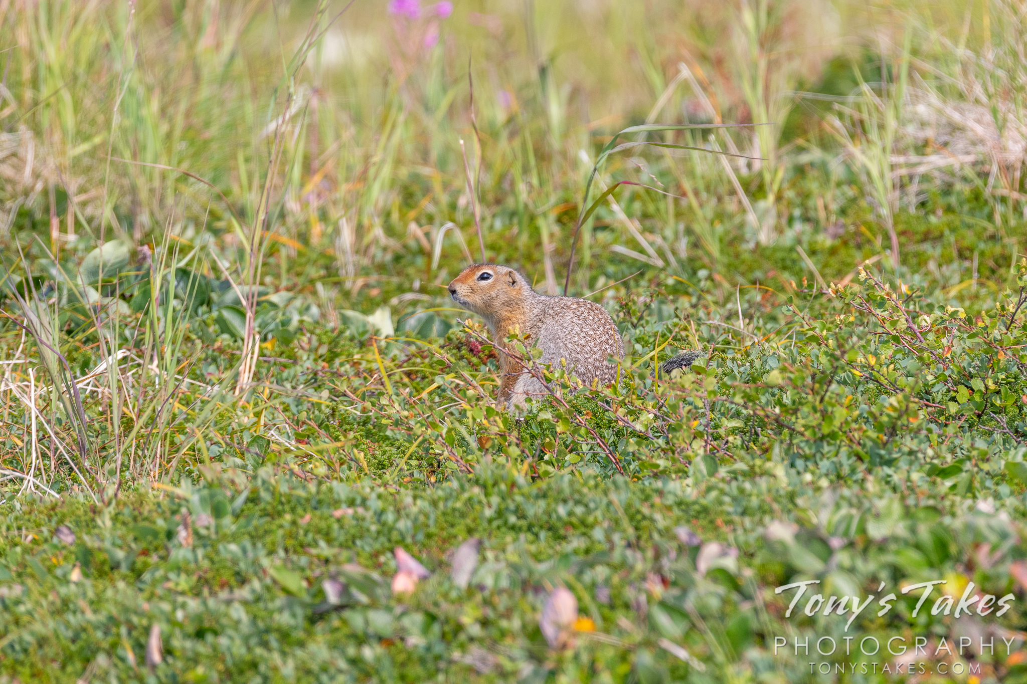 An arctic ground squirrel takes a break in Katmai National Park and Preserve, Alaska. (© Tony's Takes)
