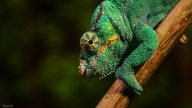 Reptile - 7316