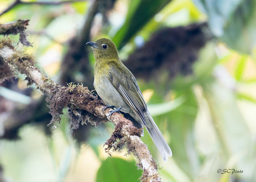 Gray-tailed Piha