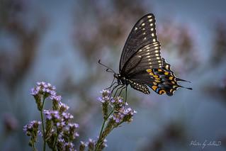 Male Eastern Black Swallowtail