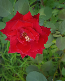 Red Rose in Transition