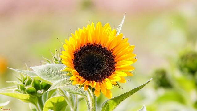 Sunflower - 7317