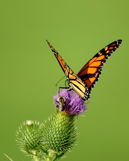 Monarch and Worker Bee