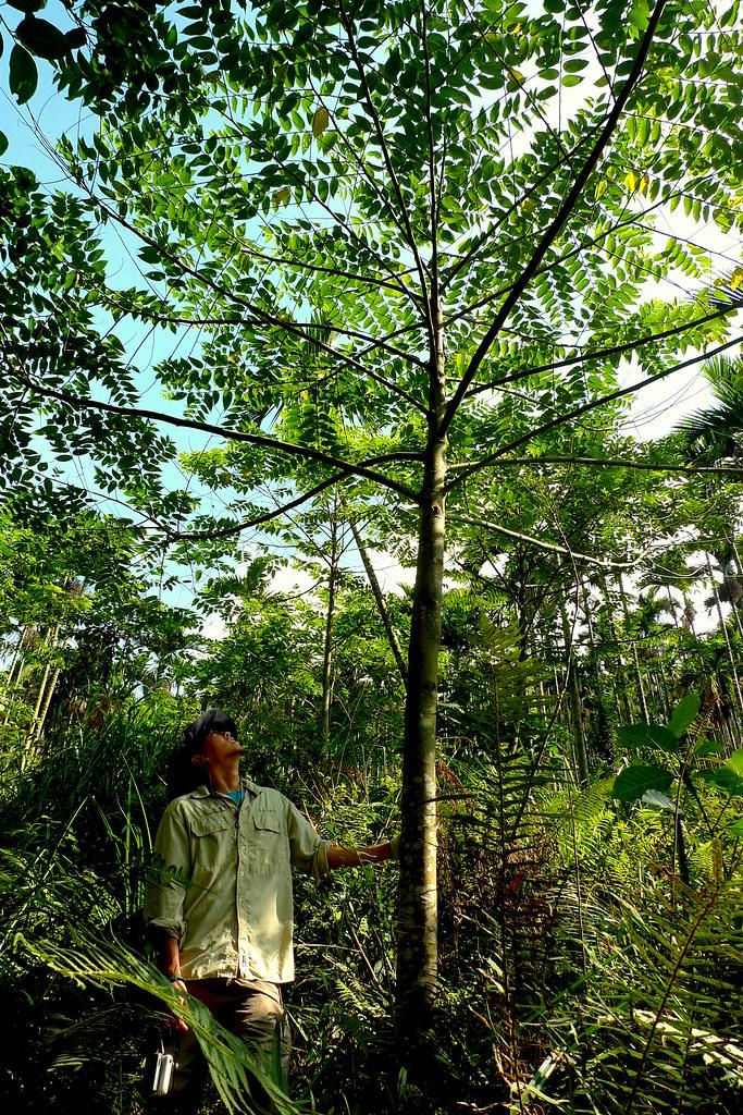 自然落種的山黃麻,是森林中的先鋒喬木,不到三年就可以長超過三人高,這棵山黃麻所生長的地方是八八風災後的崩塌地。攝影:李根政 p.280