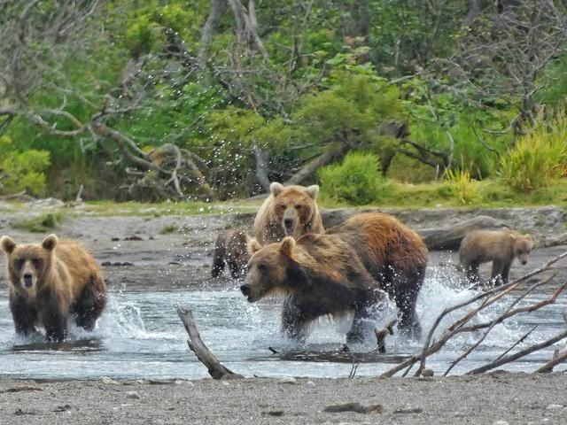 Osos en el Lago Kuril (Kamchatka)