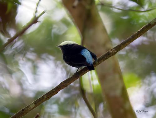 Male Blue-rumped Manakin