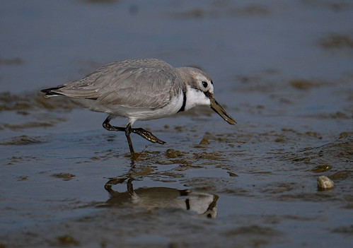 Wrybill plover - Anarhynchus frontalis
