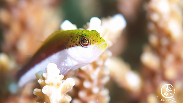 ホシゴンベ幼魚ちゃん♪
