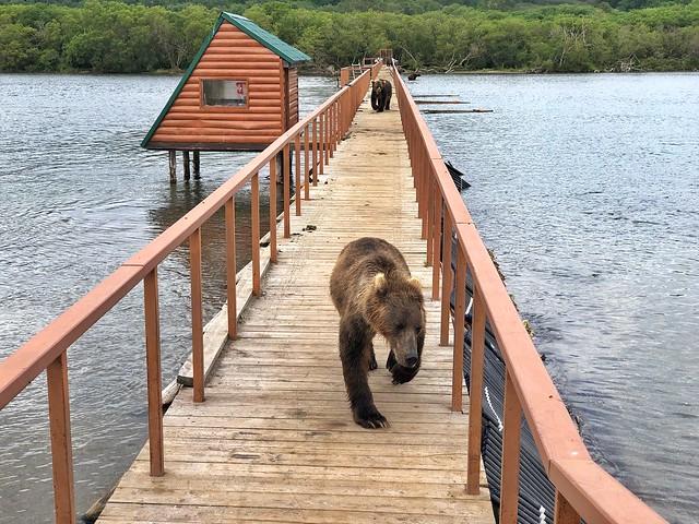 Oso acercándose a nosotros en el Lago Kuril (Kamchatka)