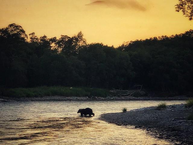 Oso en el río Bystraya de Kamchatka (Rusia)