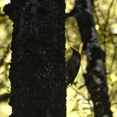 Bellbird dining on Honeydew on the Blackbeech trees