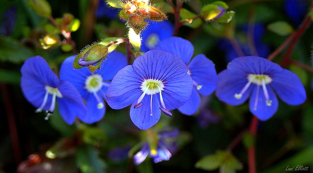 Dainty BLUE.....Looking close....on Friday