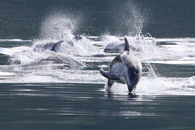 Canada - Pacific White-Sided Dolphin