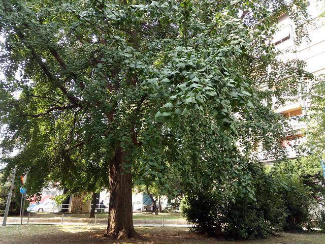 Ginko (Ginkgo) tree