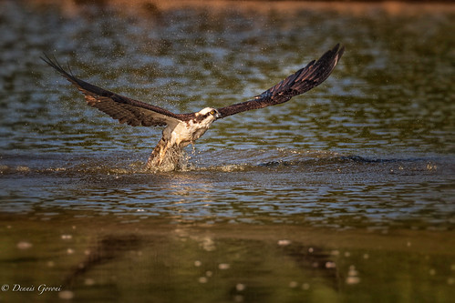osprey virginia action background bird flight huntleymeadows raptor summer sunrise water wildlife alexandria unitedstatesofamerica