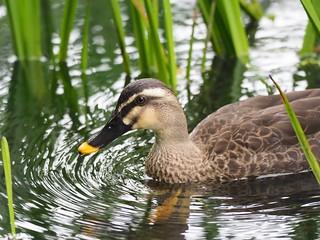 Eastern Spot-billed Duck in Kumobaike Pond, Karuizawa