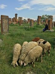 Cemetery Sheep
