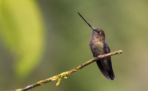 Doryfera ludovicae - Green-fronted Lancebill - Pico de Lanza Frentiverde 11