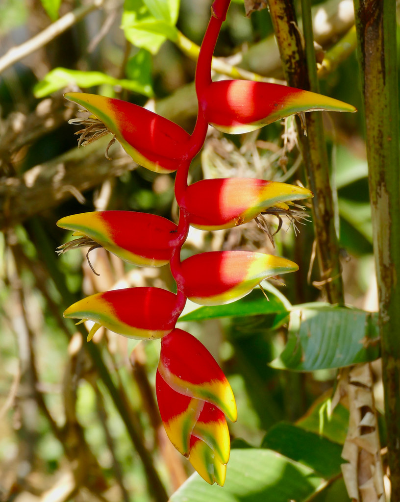 Lobster Claw Heliconia (Heliconia rostrata)