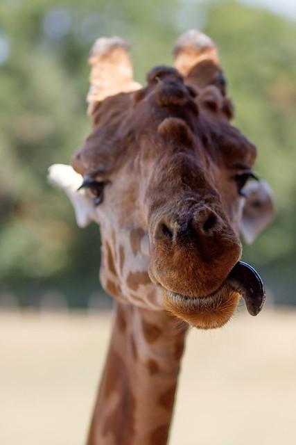 Le charme de la girafe