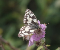 Marbled White, Lulworth Cove