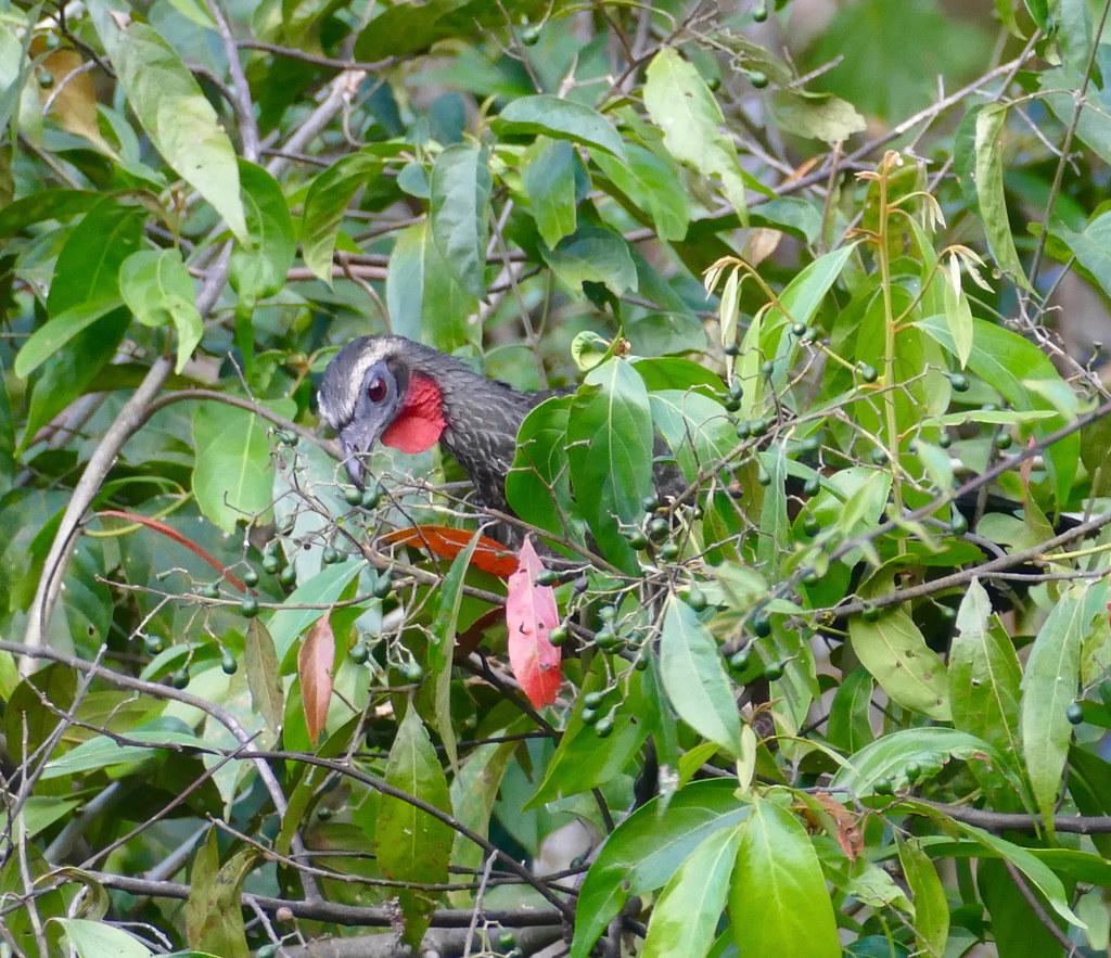 Rusty-margined Guan (Penelope superciliaris) eating small fruits ...