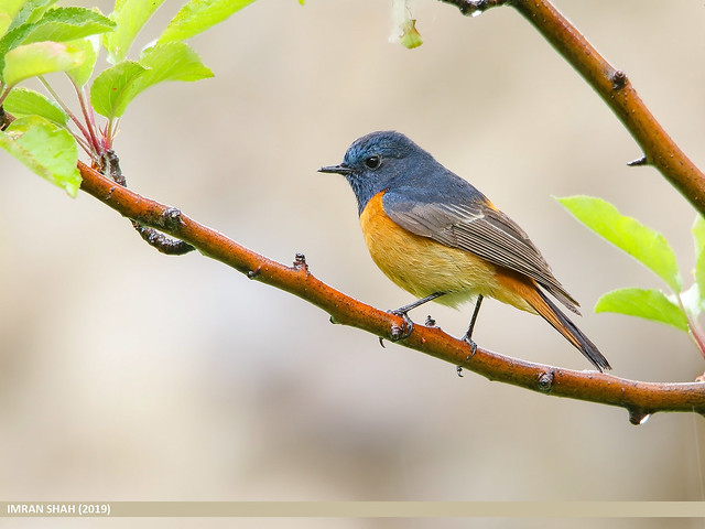 Blue-fronted Redstart (Phoenicurus frontalis)