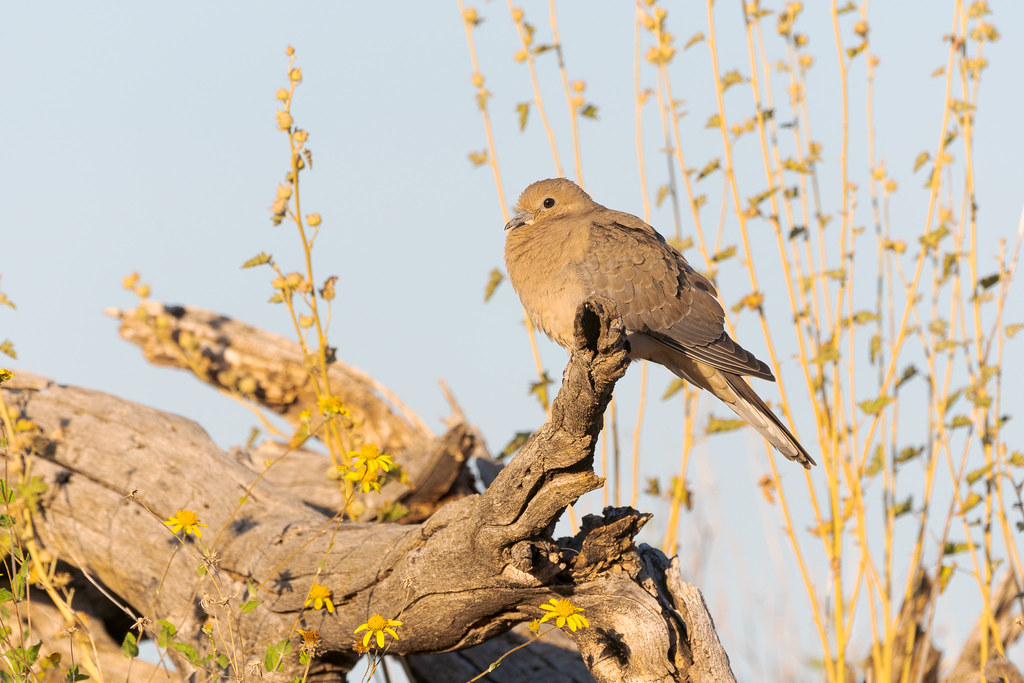 A mourning dove perches on a log beside the Rustler Trail early in the morning in McDowell Sonoran Preserve in Scottsdale, Arizona in May 2019