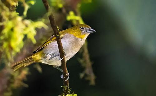Chlorospingus flavigularis - Yellow-throated Bush-Tanager - Clorospingo Goliamarillo - Montero Gorgiamarillo 07
