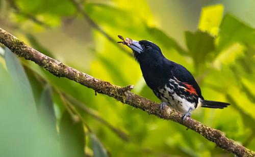 Capito maculicoronatus - Spot-crowned Barbet - Cabezón Pechiblanco - Torito Cabeciblanco 08