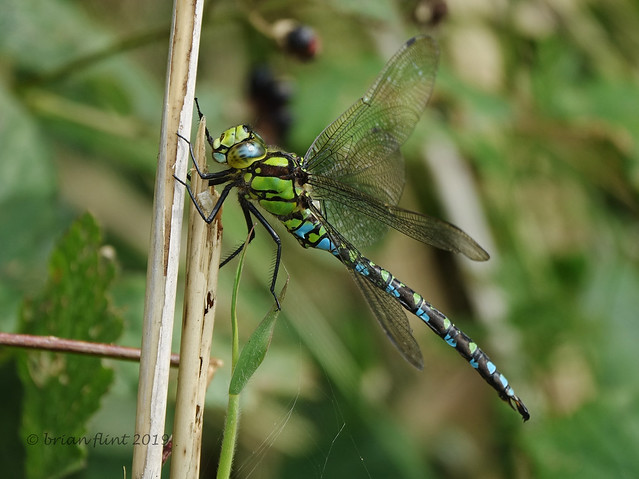 Southern Hawker - side view