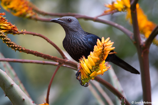 Red-winged Starling, female