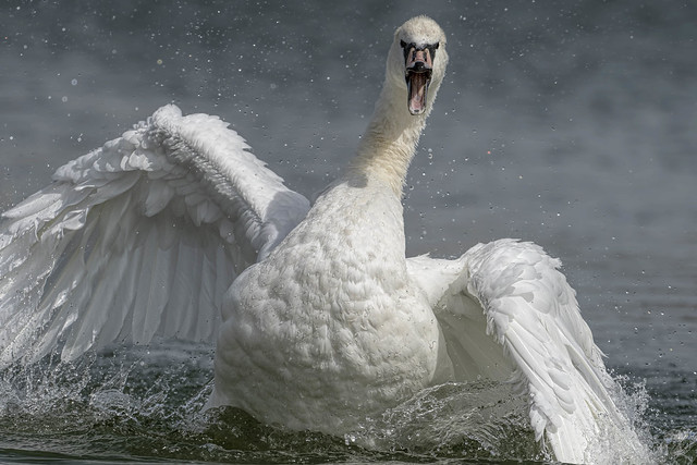 Mute Swan Aug 2019