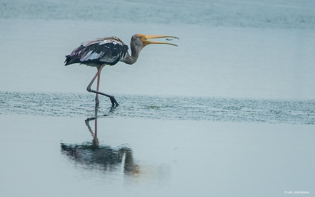 The fish and the Painted Stork
