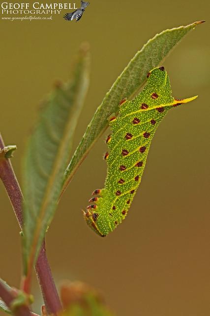 Poplar Hawk-moth (Laothoe populi)