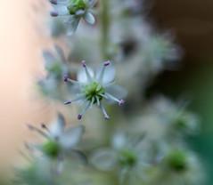 Flower of the Indian Pokeweed (Phytolacca acinosa)