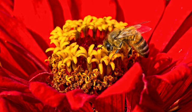Bee on Red and Yellow