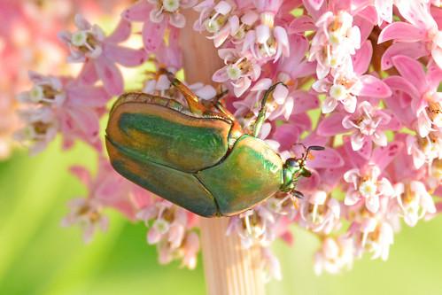 greenjunebeetle junebeetle beetle swampmilkweed chisholmcreekpark wichita kansas