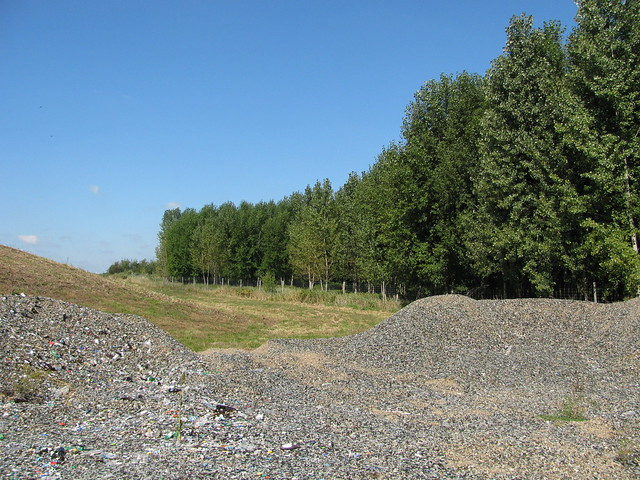Poplars at a landfill in northern Wisconsin