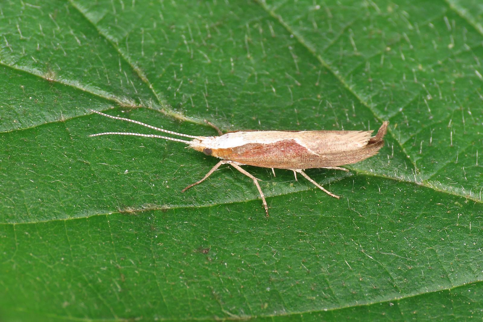 17.003 Honeysuckle Moth - Ypsolopha dentella