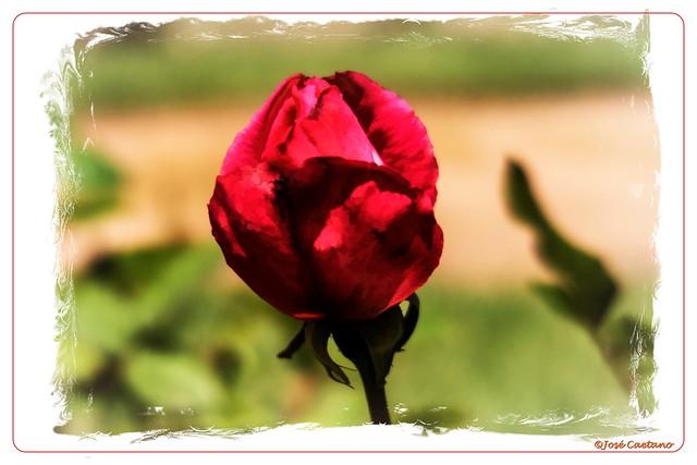 IMG_1787_Red Rose