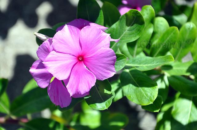 Flores de Grussaí...