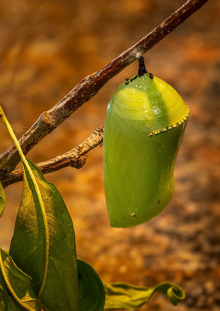 Monarch chrysalis_sRGB.jpg