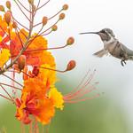 Broad-tailed hummingbird, Arizona-Sonora Desert Museum