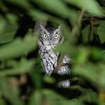 Eastern screech owl, Inwood Hill Park