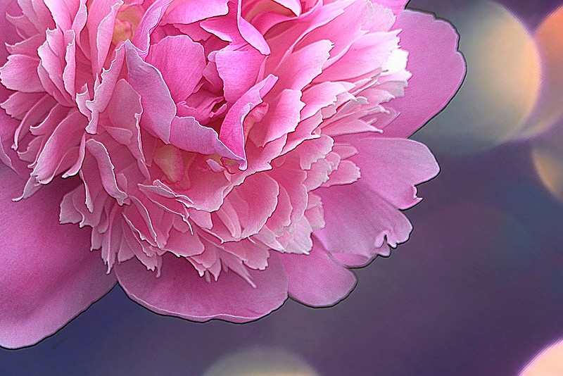 Brampton Ontario - Canada - Alderlea Mansion  - Garden- Flower - Peony